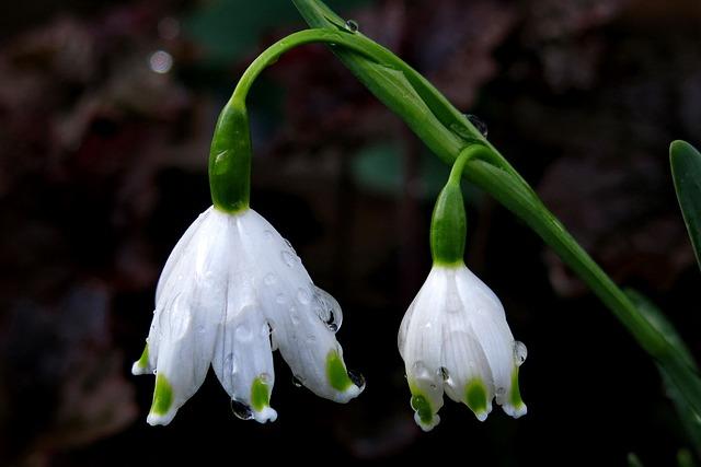 Snowflake, Spring Flower, White, Close