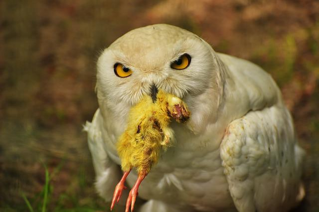 Owl, Snowy Owl, Eat, Chicken, Feather, White, Enclosure