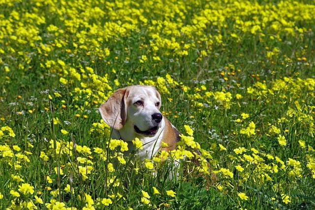 Beagle, Dog, Elderly, Snuff, Hound, Friend, Nose, Ears