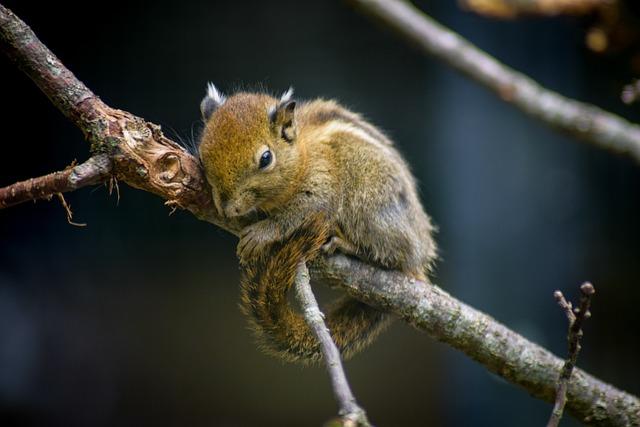 Chipmunk, On Branch, Snuggled, Soft, Fluffy, Break
