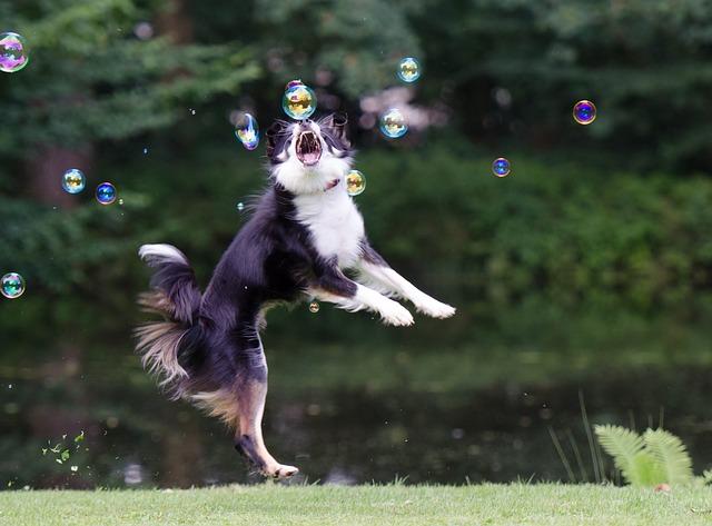 Soap Bubbles, Border Collie, Dog Chasing Bubbles
