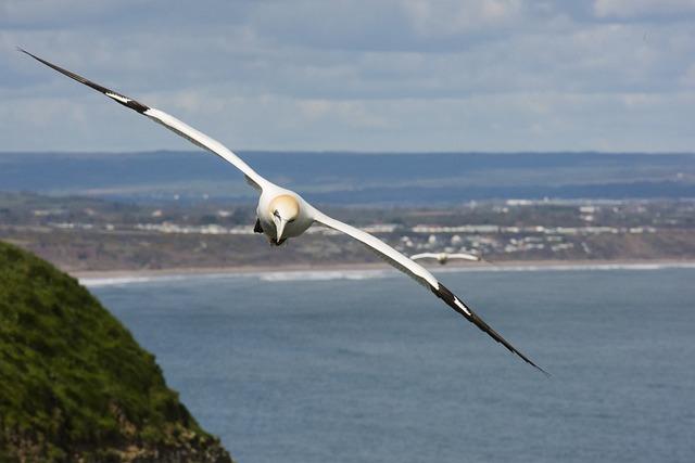 Gannet, Flight, Soar, Glide, Bird, White, Northern