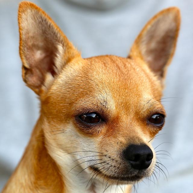 Chihuahua, Sobel, Dog