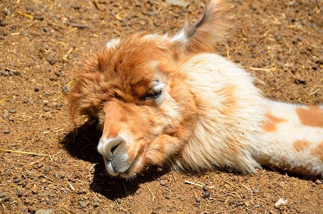 Alpaca, Sleeping, Cute, Animal, Wool, Textile, Soft