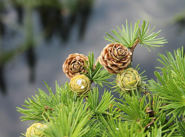 Larch, Larch Branch, Branch, Softwood, Cones