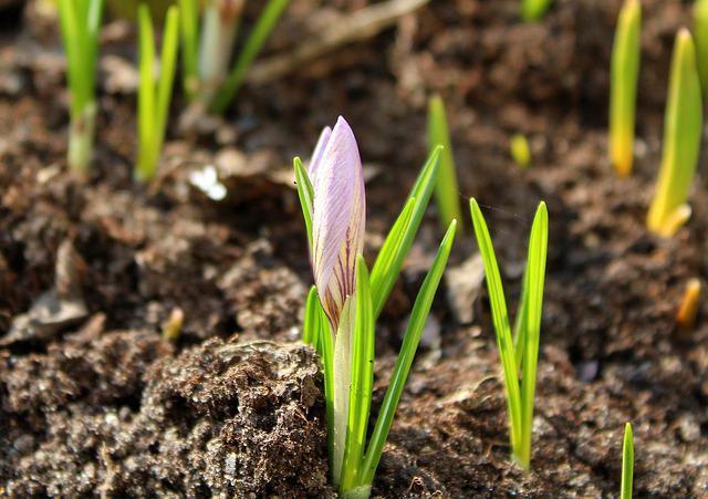 Krokus, Early Spring, Spring Flowers, Soil, Nature