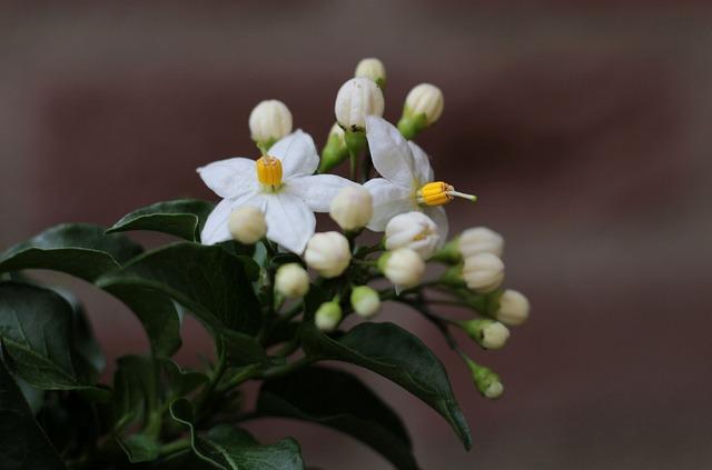 Solanum, Flowers, White, Solanaceae, Garden, Blossom
