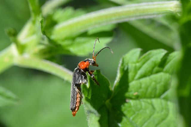 Soldier Beetle, Beetle, Red Beetle