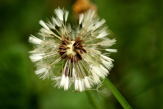 Nuns, Dandelion, Sonchus Oleraceus, Closeup, Seeds