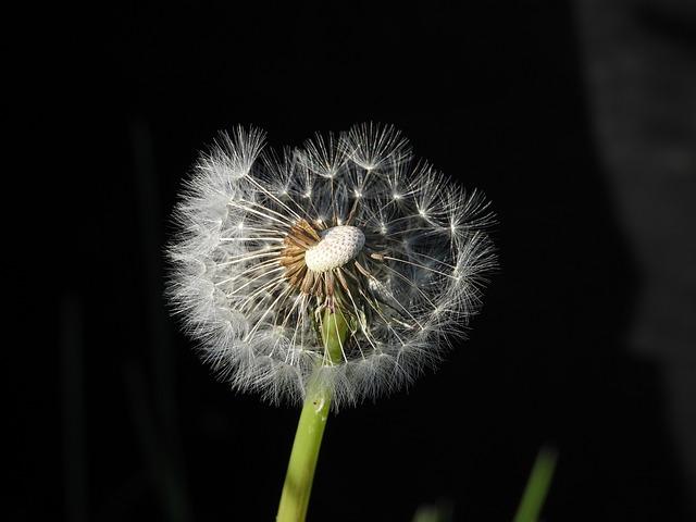 Dandelion, Sonchus Oleraceus, Plant, Spring, Nuns