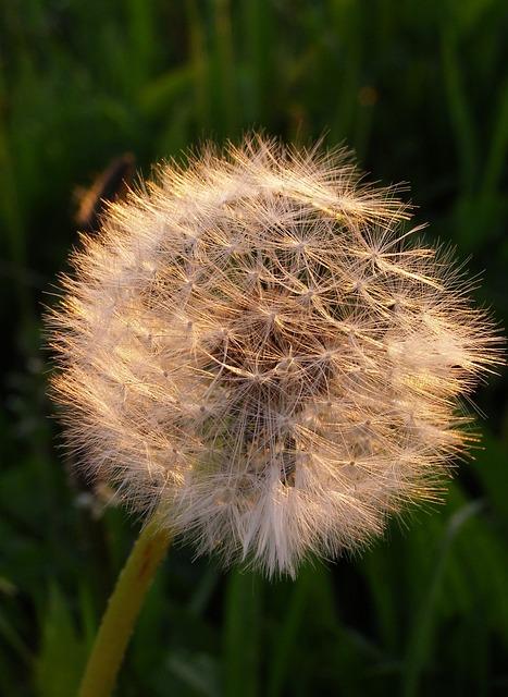 Sonchus Oleraceus, Dandelion, Przekwitnięty Flower