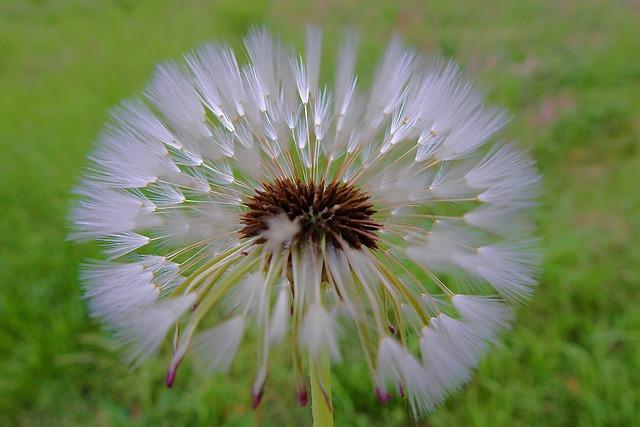 Dandelion, Spring, Sonchus Oleraceus, Closeup