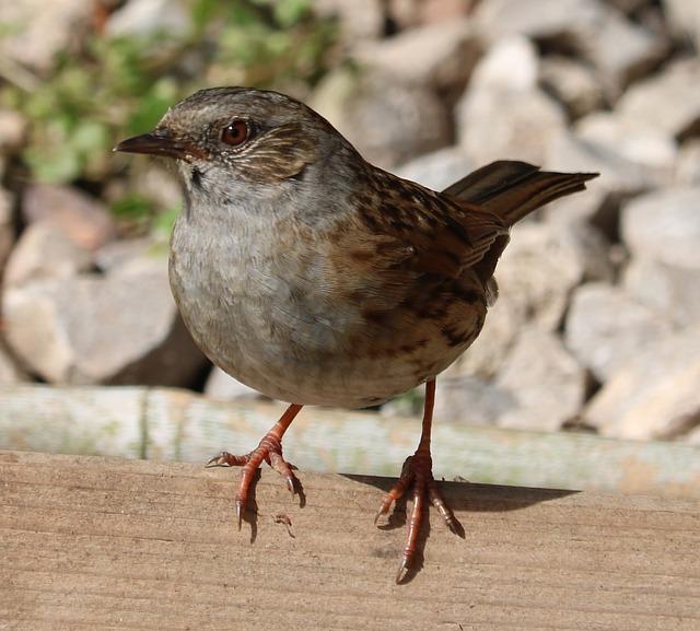 Dunnock, Song Bird, Bird, Garden Bird