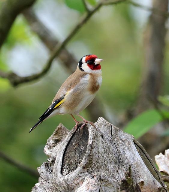 Goldfinch, Song Bird, Bird, Garden Bird, Colourful
