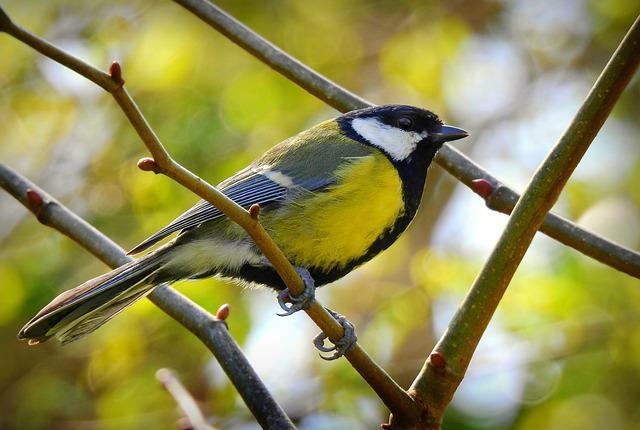 Great Tit, Song Bird, Animal, Wing, Plumage, Feather