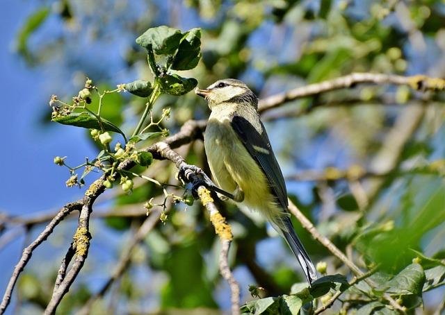 Tit, Songbird, Bird, Small Bird, Bill, Cute