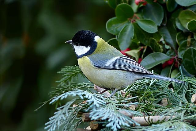 Bird, Songbird, Tit, Parus Major, Garden, Foraging