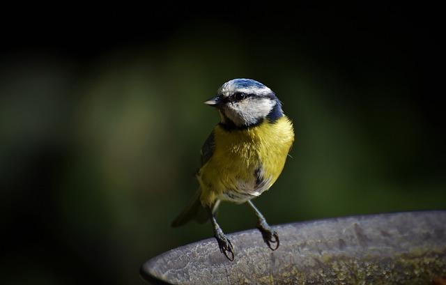 Blue Tit, Tit, Small Bird, Songbird, Bird, Bird Bath