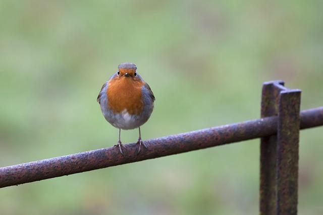 Bird, Robin, Songbird, Rubecula, Ornithology, Erithacus