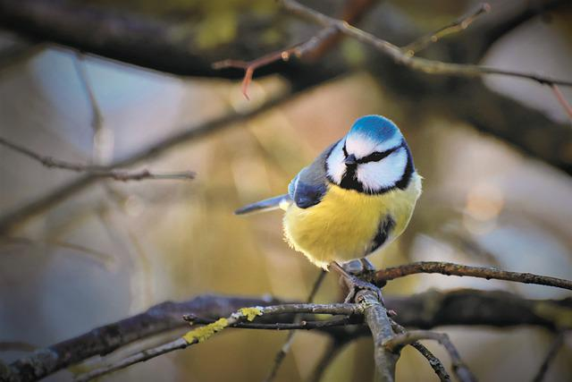 Blue Tit, Tit, Songbird, Bird, Small Bird, Animal