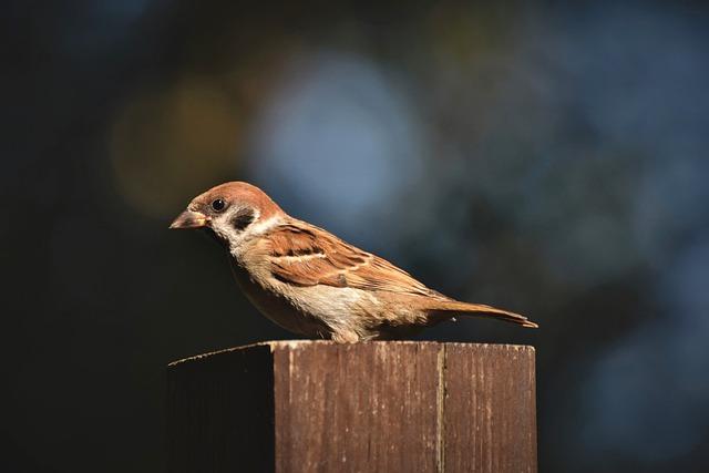 Sparrow, Sperling, Bird, Birdie, Animal, Songbird
