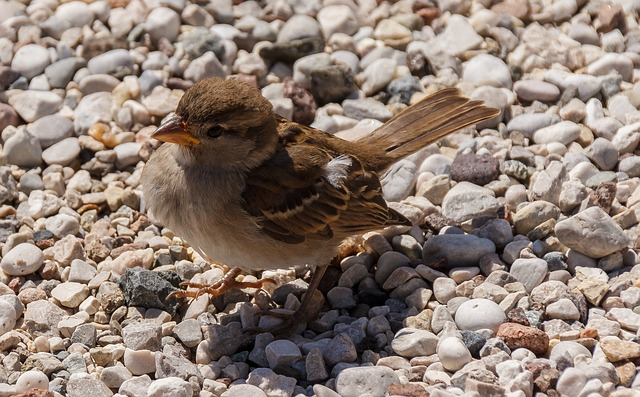 Bird, Sparrow, Foraging, Sperling, Birds, Songbird