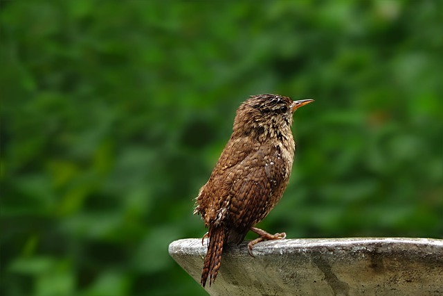 Animal, Bird, Songbird, Wren, Troglodytes Troglodytes