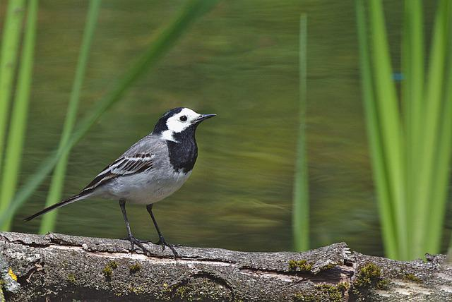 White Wagtail, Bird, Songbird, Pond