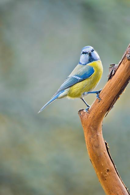 Tit, Nature, Bird, Songbirds, Garden