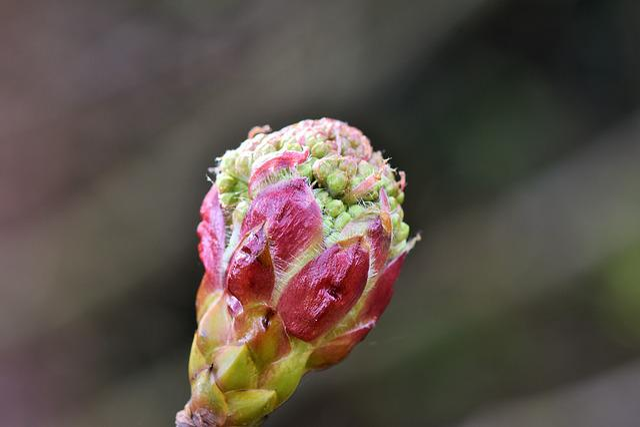 Rowan, Chinese Bird Berry, Sorbus Megalocarpa, Bush