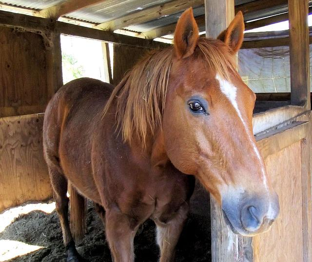 Sorrel Quarter Horse, Stall, Red, Black Points, Ears