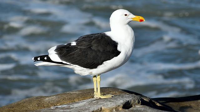 Seagull, Kelp Gull, South Africa, Struisbay, Avian