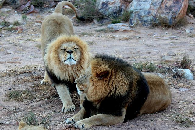 Lion, Lions, Animals, South Africa