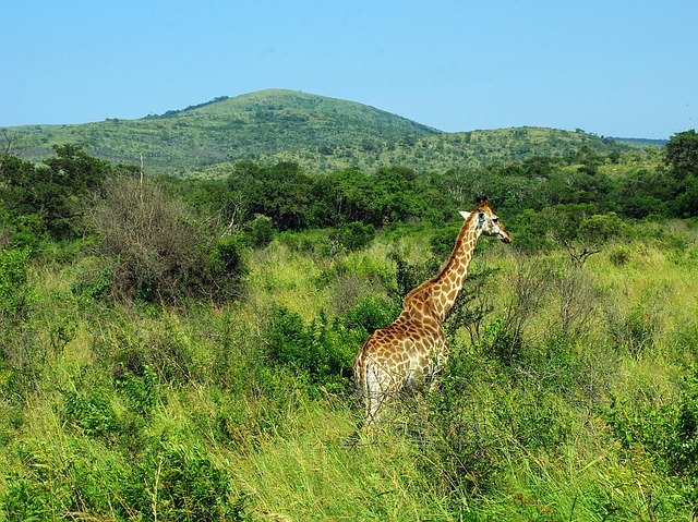South Africa, Park, Kruger, Giraffe, Savannah, Wild