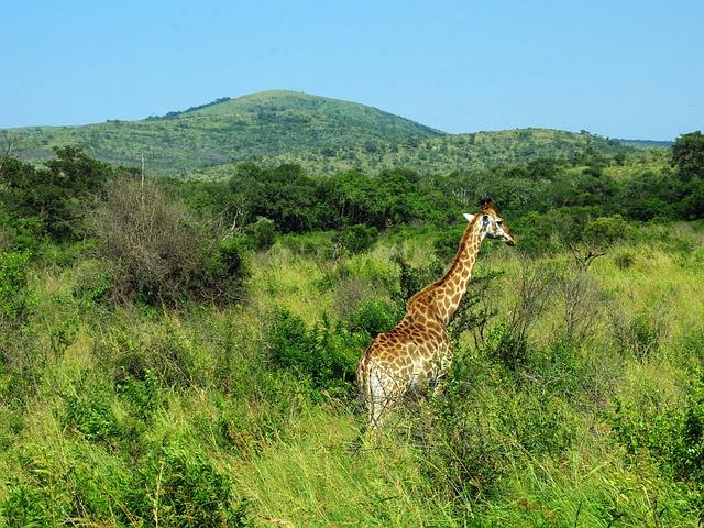 South Africa, Park, Kruger, Giraffe, Savannah, Wild