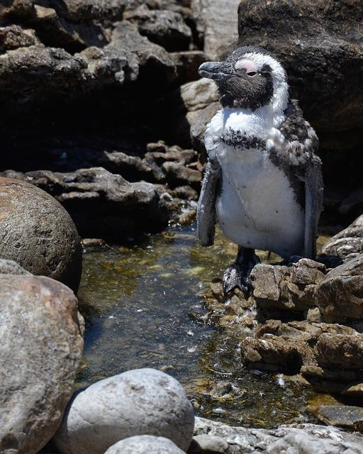Penguin, South Africa, Bettys Bay