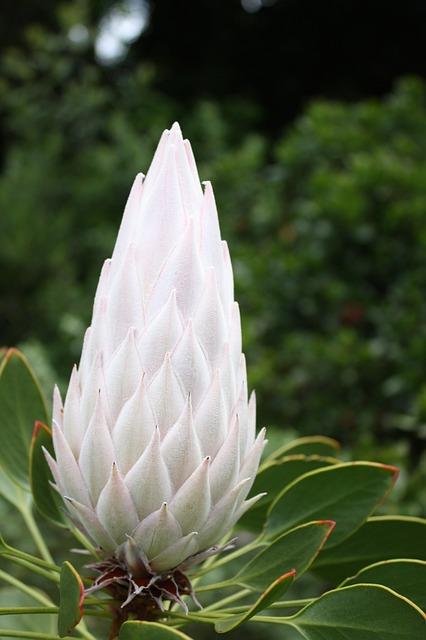 South Africa, Cape Town, Kirstenbosch, Flower, Plant
