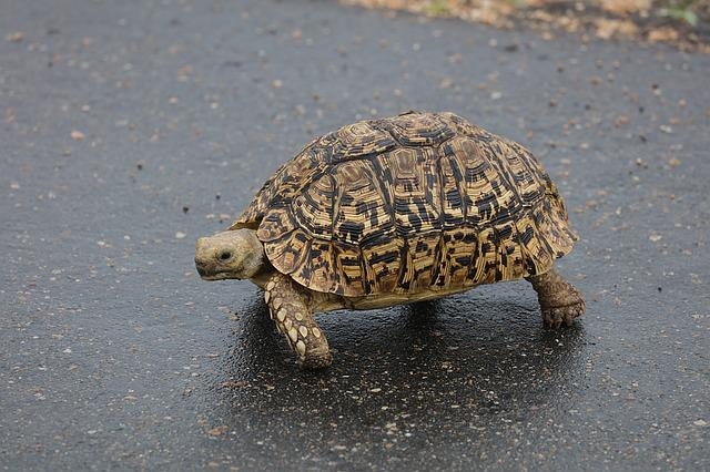 Leopard Tortoise, Turtle, South Africa