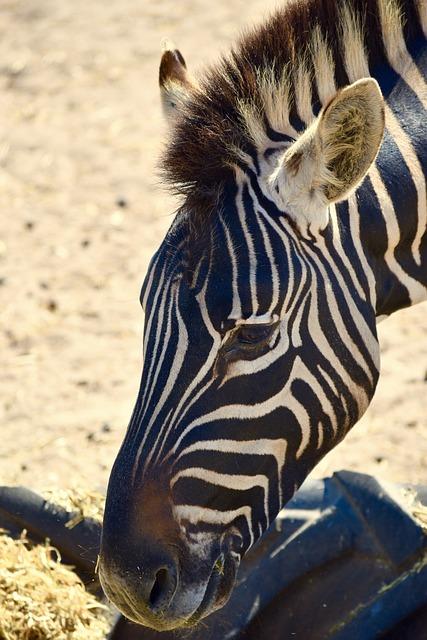 Zebra, South Africa, Nature, Wildlife, Animal, Wild