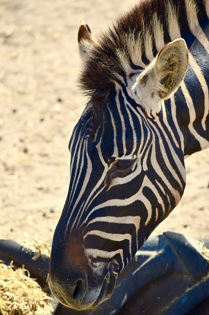 Zebra, South Africa, Nature, Wildlife, Animal, Wild