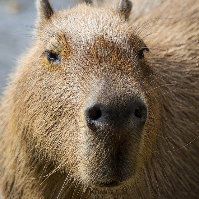 Capybara, South America, Portrait, Guinea Pig, Rodent