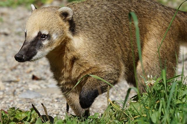 Coati, Predator, Mammal, South American Coati