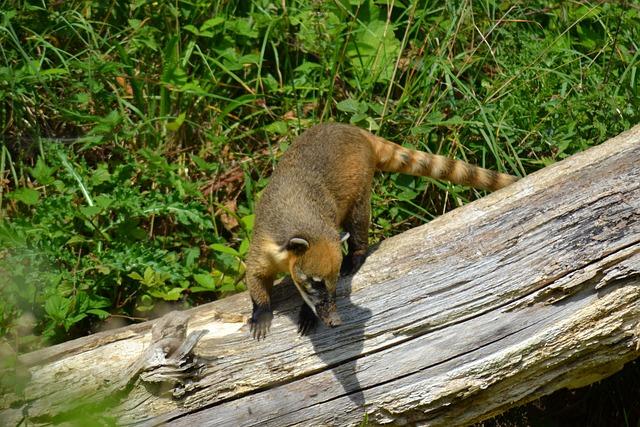 Coati, South American Coati, Ring-tailed Coati, Quati