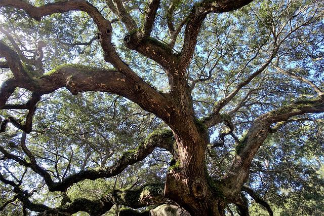 Live Oak, Angel Oak, Ancient, Tree, South Carolina