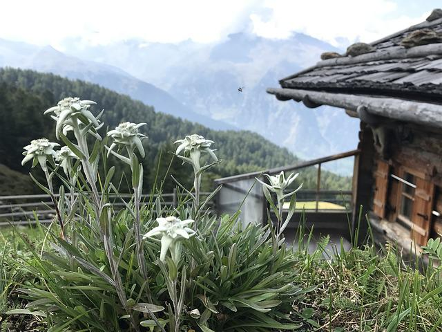 South Tyrol, Edelweiss, Plant, Mountains, Alpine Flower