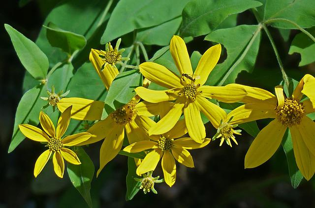 Yellow Composite, Wildflower, Tennessee, Southeast