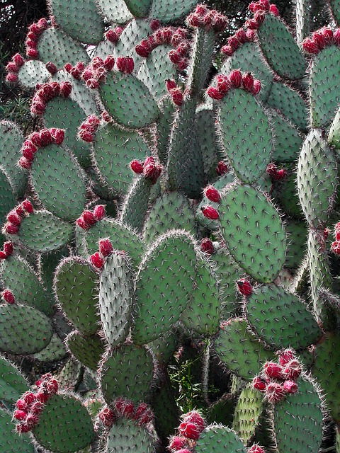 Spain, Catalonia, Cacti, Cactus, Prickly Pear