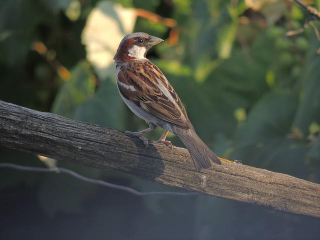 Bird, Animal, Sparrow