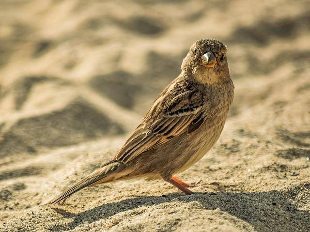 Sparrow, Nature, Wildlife, Animal, Bird, Sand, Cute