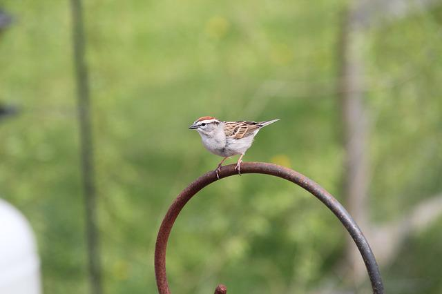 Sparrow, Chipping Sparrow, Bird, Nature, Feathers